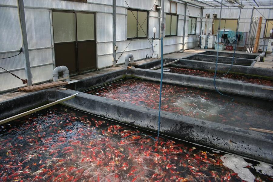 Japan 2012-Kase-Koihaus-2